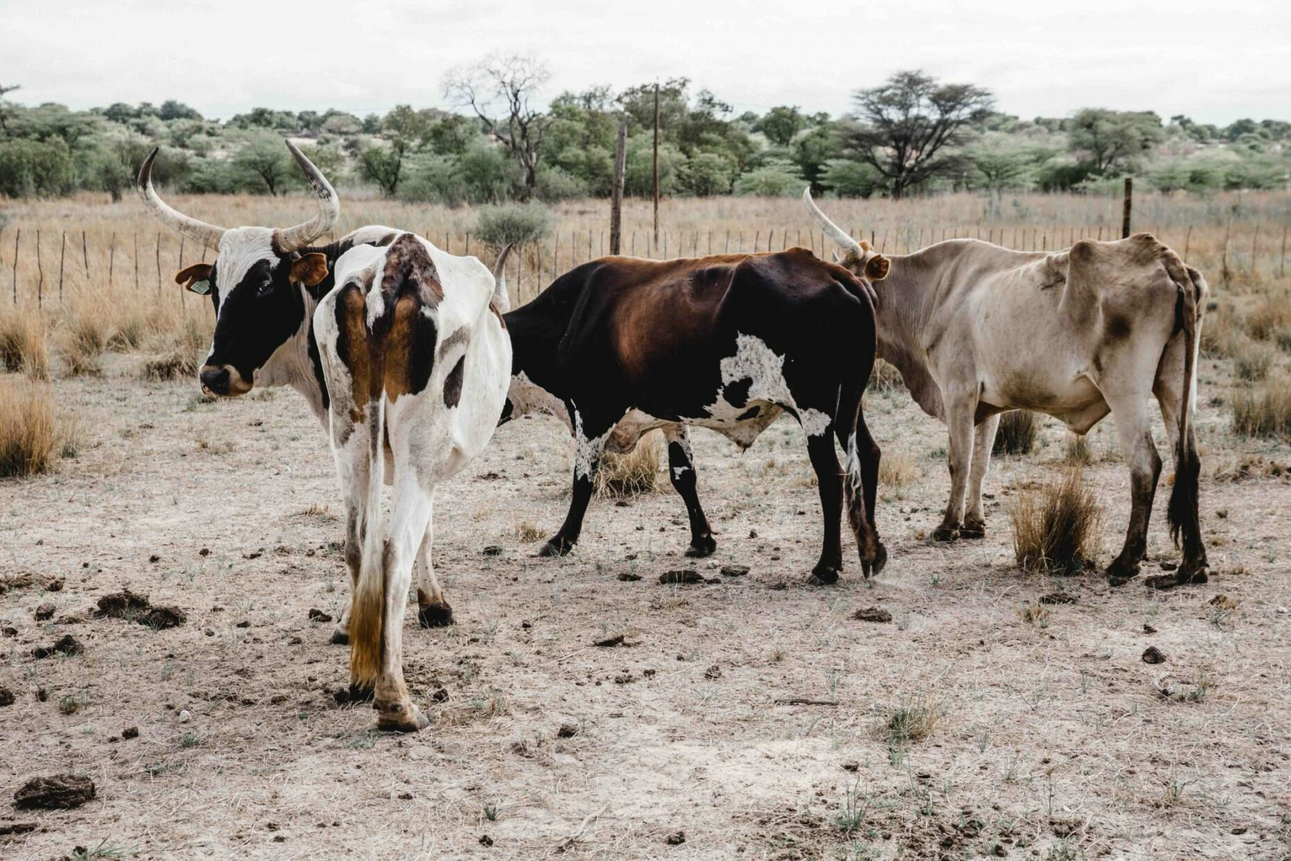 cows-in-namibia
