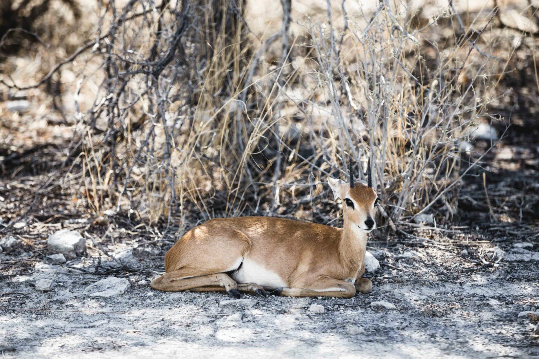 dikdik-in-namibia-savannah
