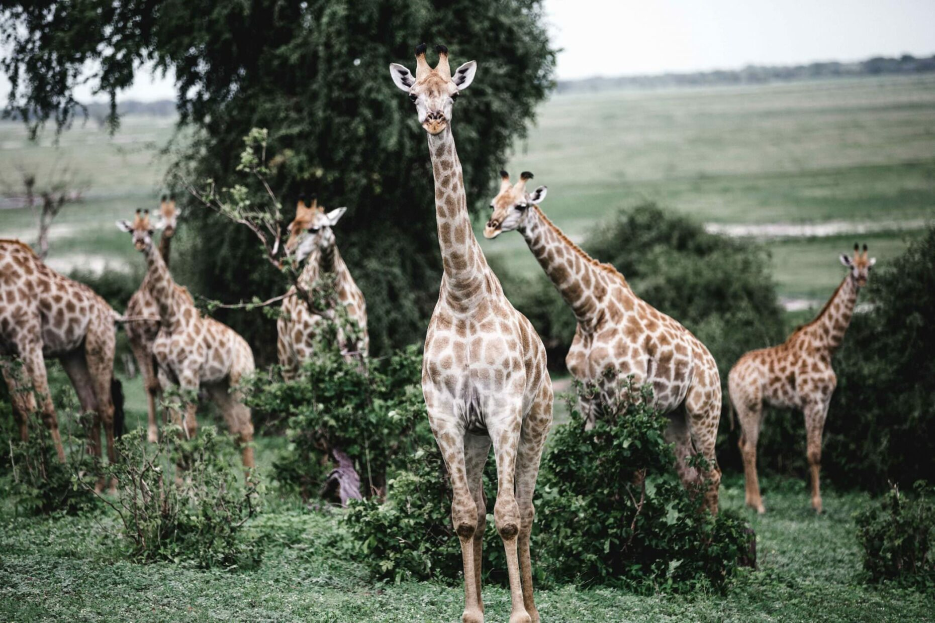 group-of-giraffes-in-namibia