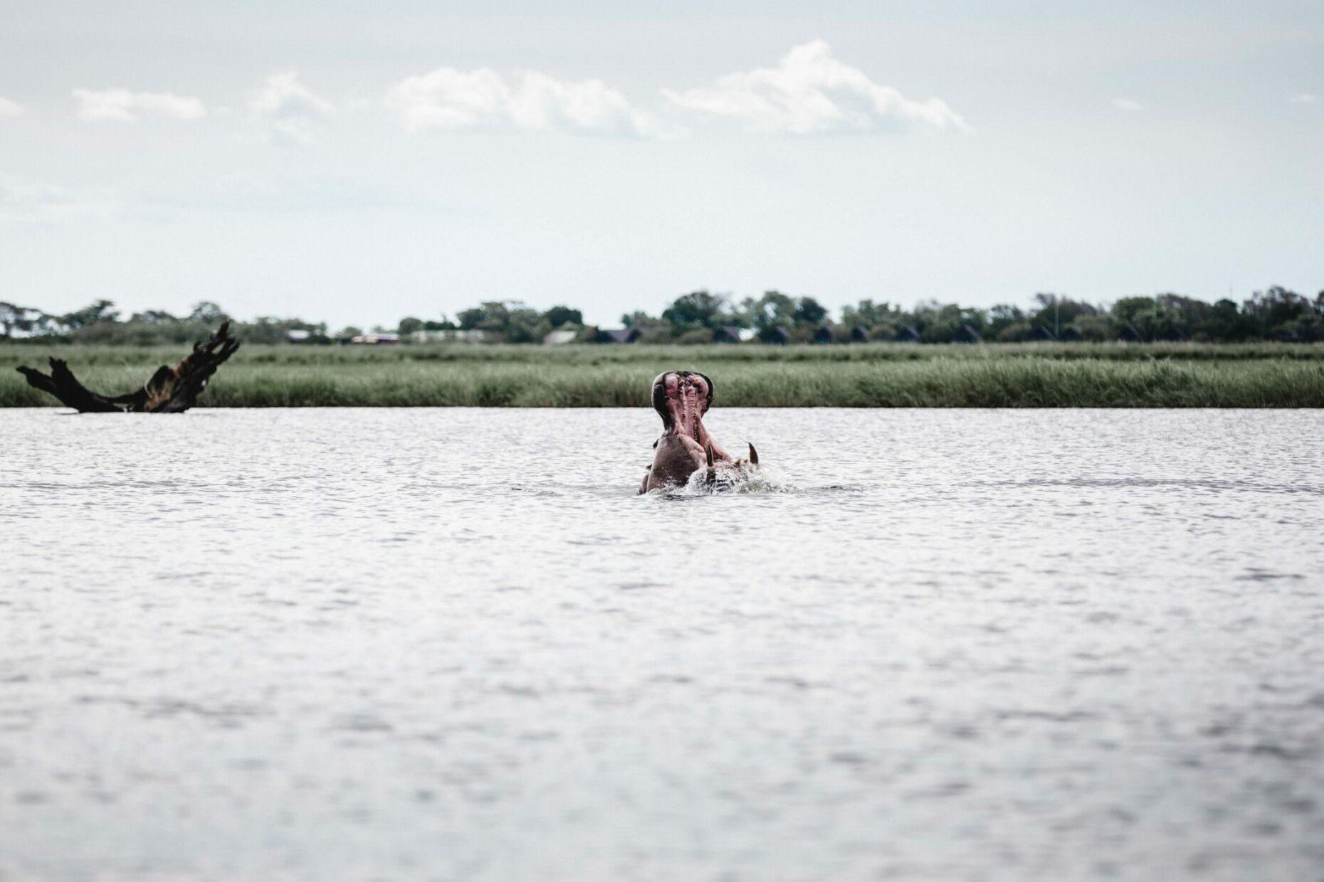 hippo-in-chobe-river-namibia