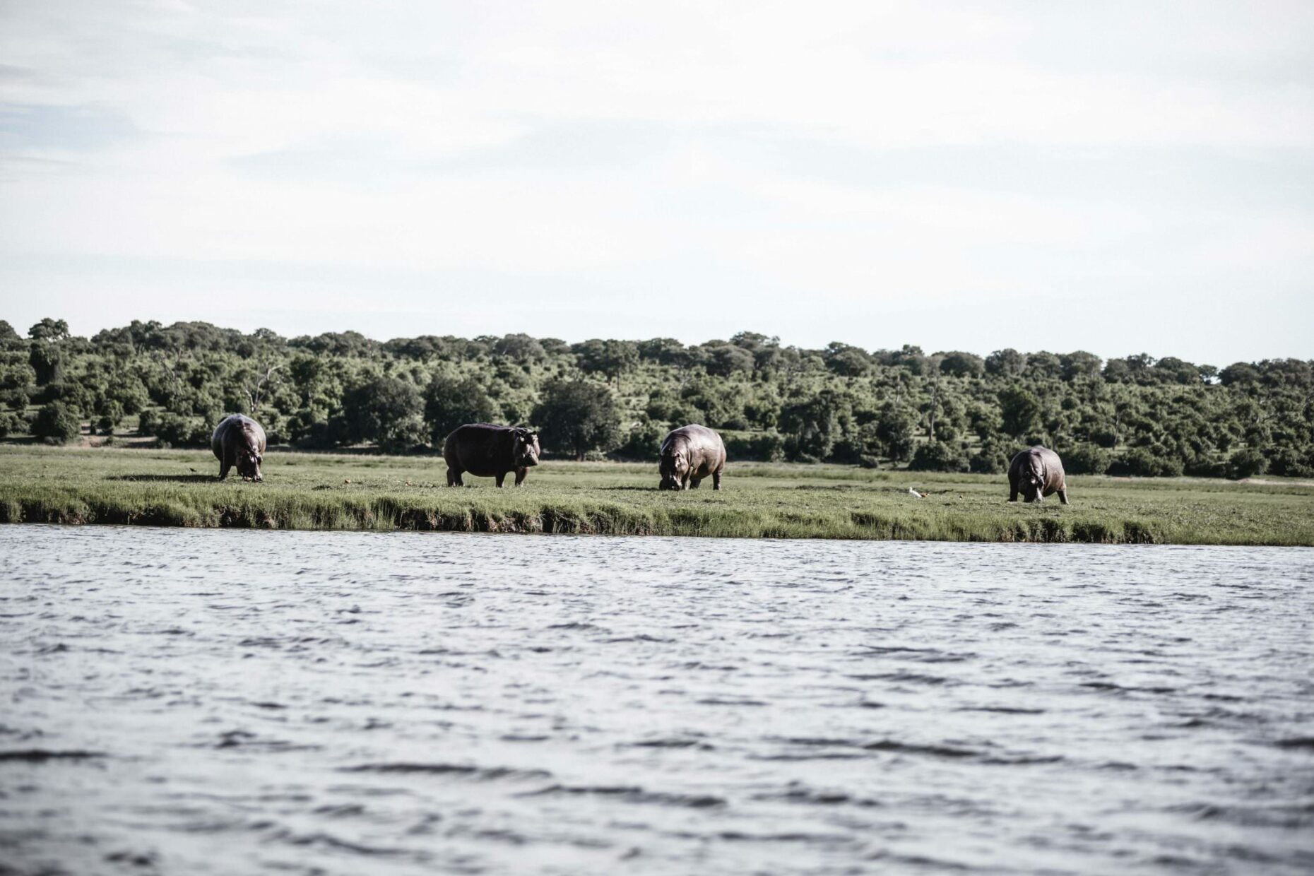 hippos-at-shore-in-namibia