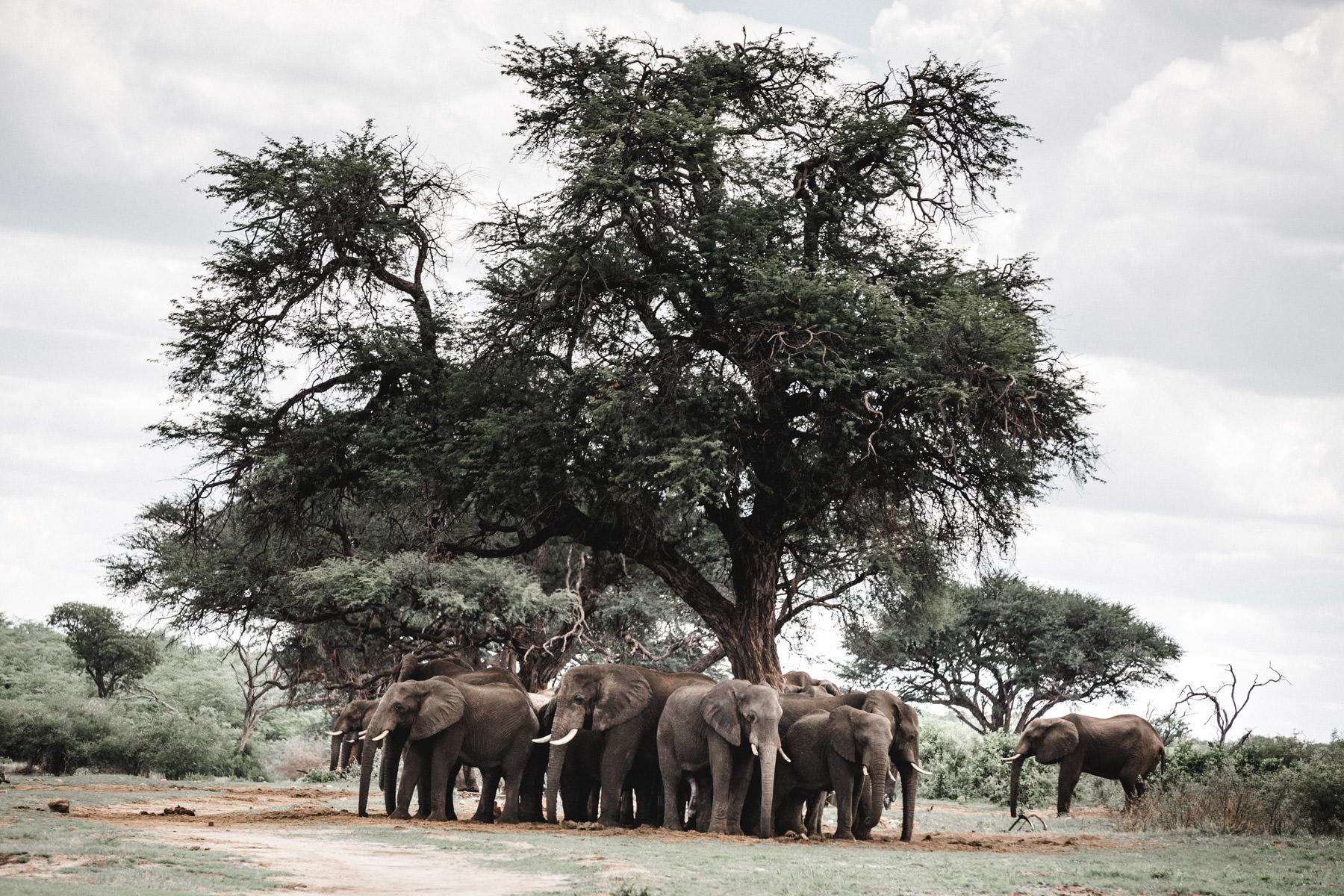 namibia-elephant-herrd-under-a-tree
