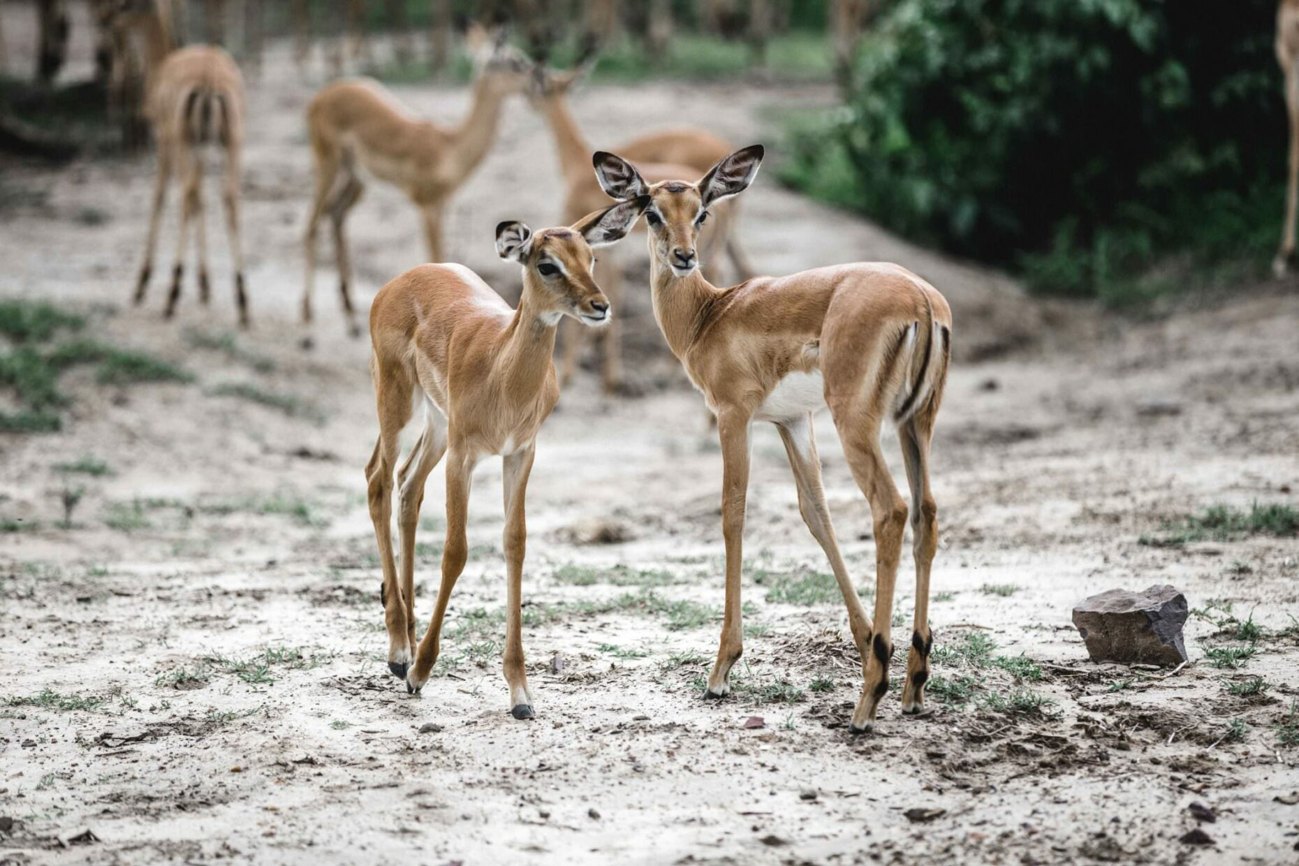 two-baby-springbock-in-namibia