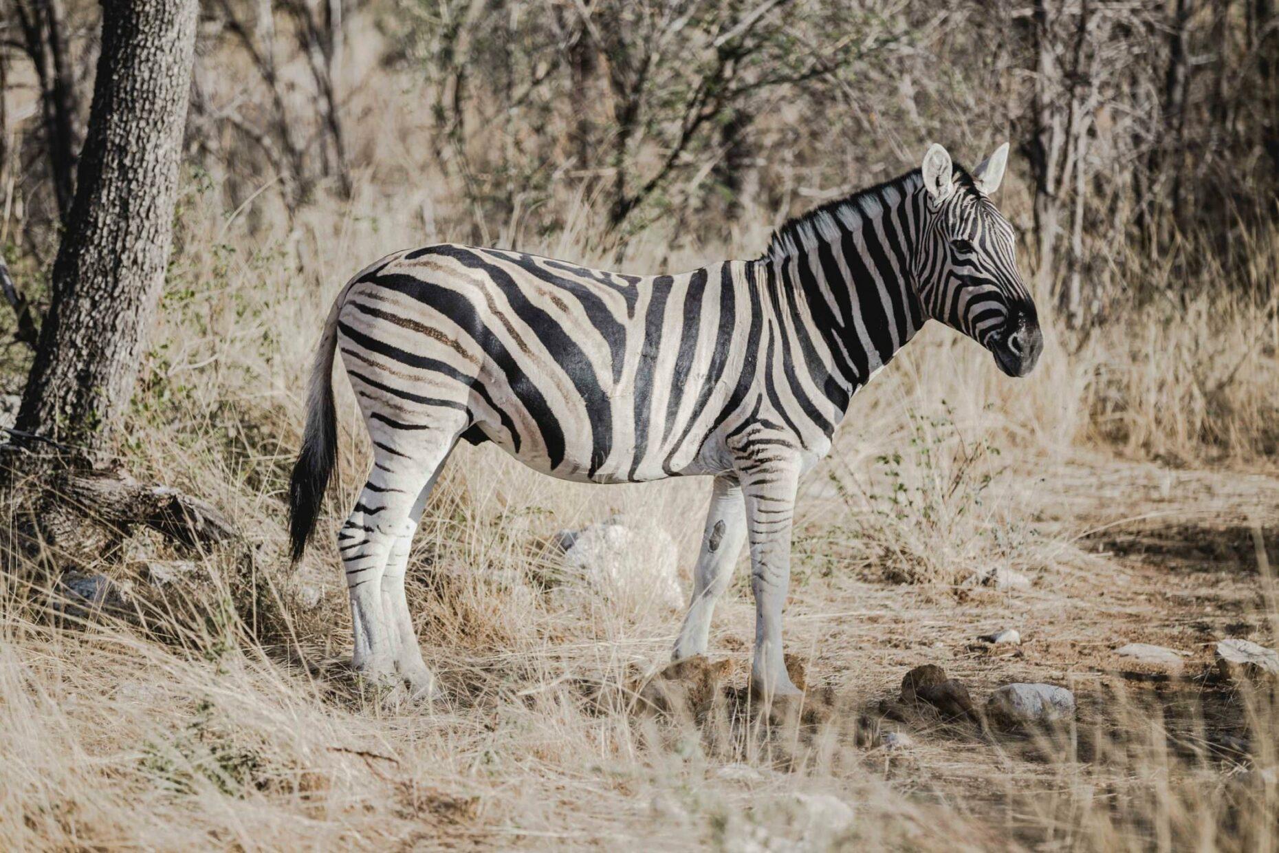 zebra-in-namibia-savannah