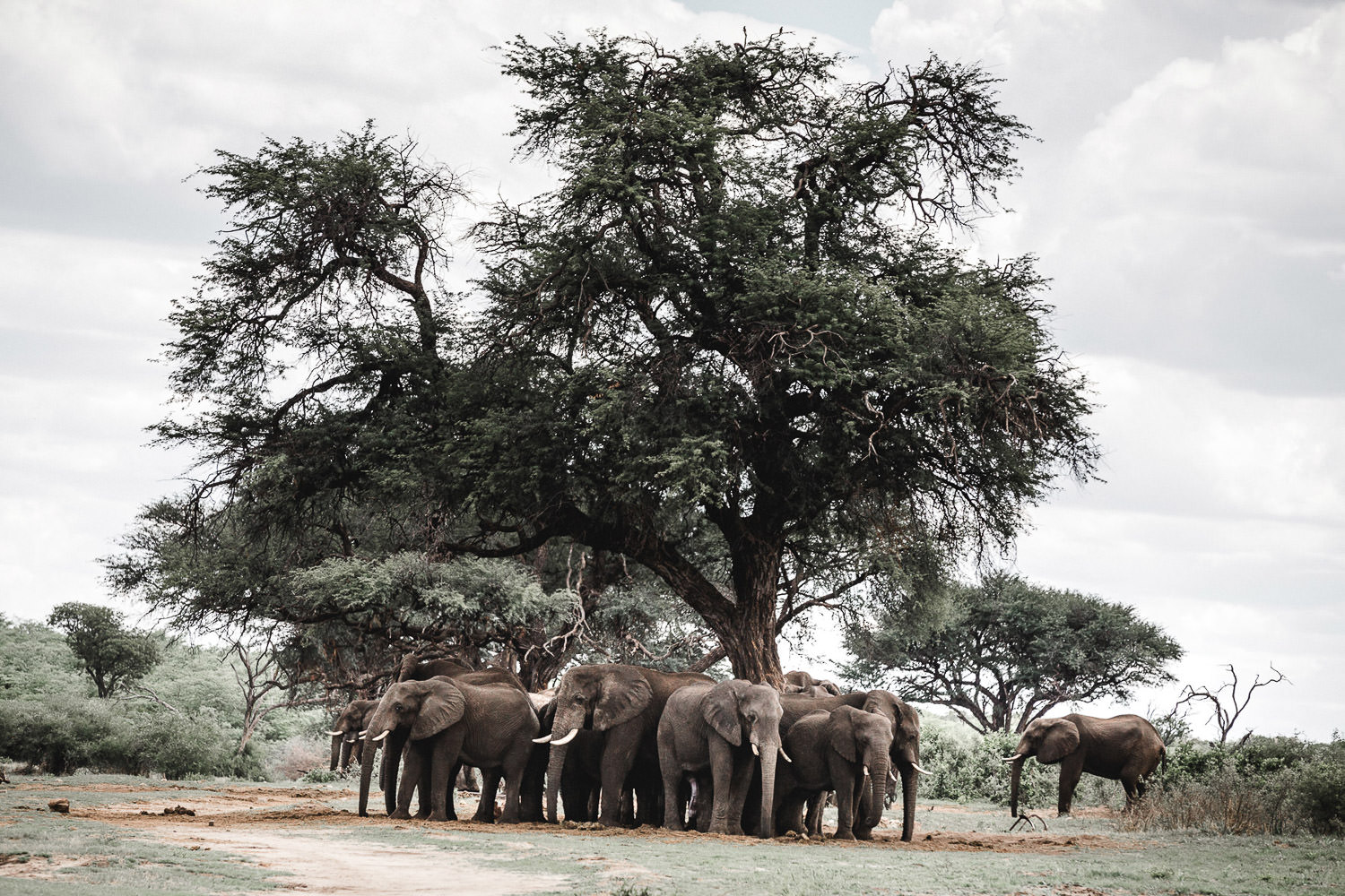 group of elephants in moremi national park during a Christmas safari