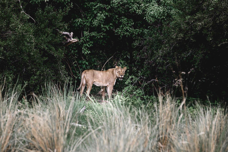female lion in namibia during the Christmas safari tour
