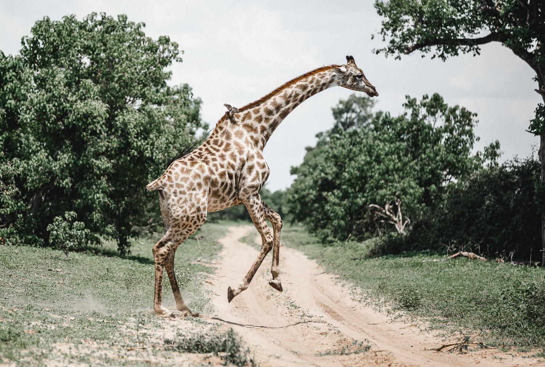 Giraffe running across the street during the Christmas safari tour
