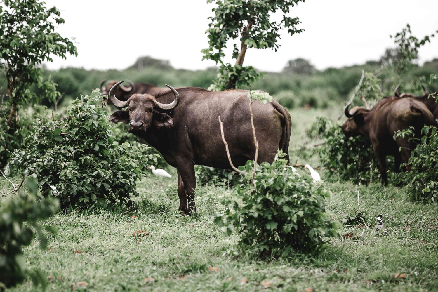 water buffalo sight in Caprivi in namibia during the Christmas safari tour