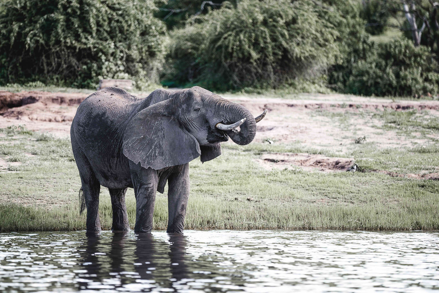 elephant drinking water in chobe national park during Christmas safari tour