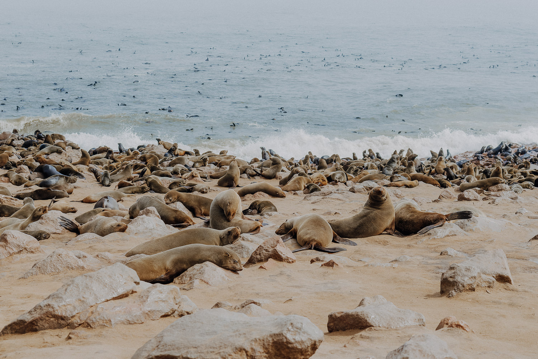 seals at the Atlantic coast in namibia at cape cross